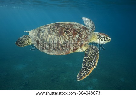 GREEN SEA TURTLE SWIMMING CLOSE TO SURFACE