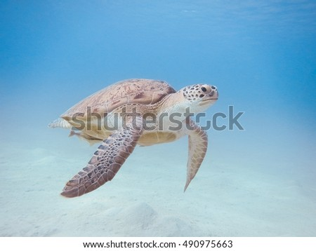 Green sea turtle swimming underwater Red Sea. Egypt