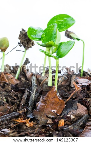 Green seedlings growing.isolated on white