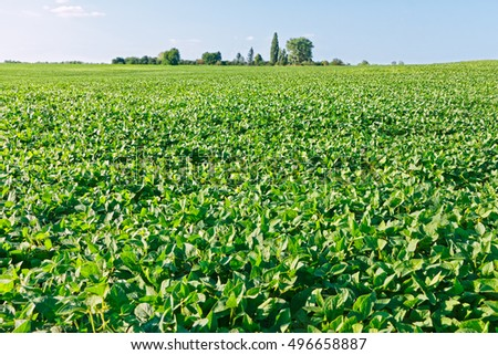 Green soybean field in the summertime, trees and sky on background