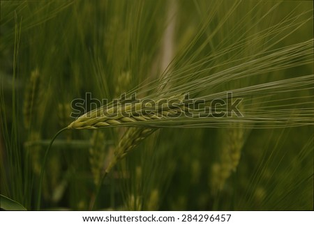 Green spike of rye