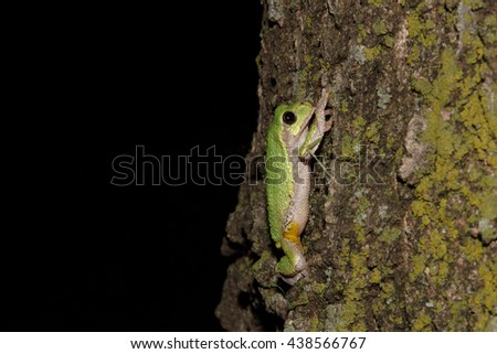 Green tree frog climbing mossy tree trunk