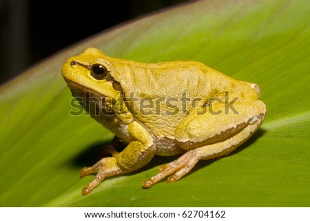 Green Tree Frog on a reed leaf (Hyla arborea)
