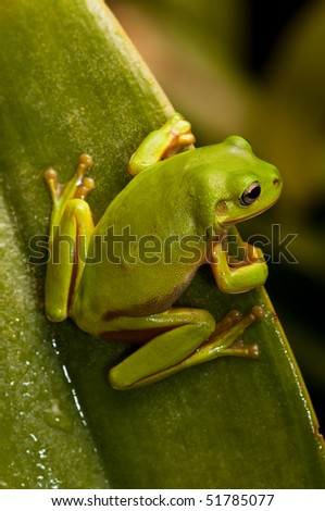 Green tree frog sitting on a leaf.  Part of a series