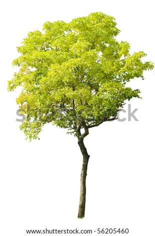 Green Tree isolated against a white background