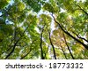 Green trees, blue sky, perspective viev, sun weather. - stock photo