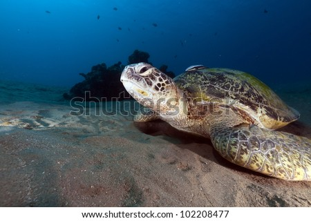 Green turtle in the Red Sea.