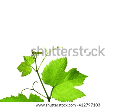 Green vine vitis grapevine leaves with copy space over white background