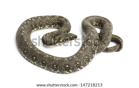 Green Whip Snake, Hierophis viridiflavus, isolated on white
