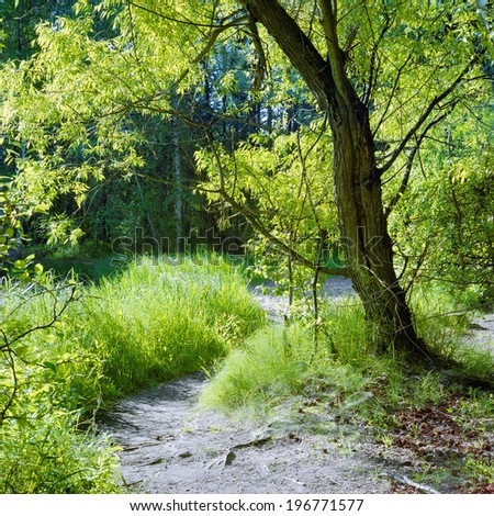Green willow, young grass, and sunlit glade in summer forest
