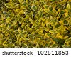green yellow leafy hedge as a natural background - stock photo