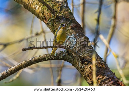 Greenfich sitting on a tree branch at spring