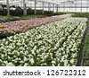 Greenhouse rows of pink and white begonias in springtime, northern Illinois - stock photo