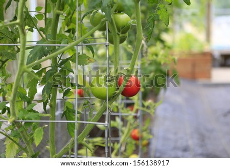 Greenhouse tomatoes. Green and red large tomatoes.