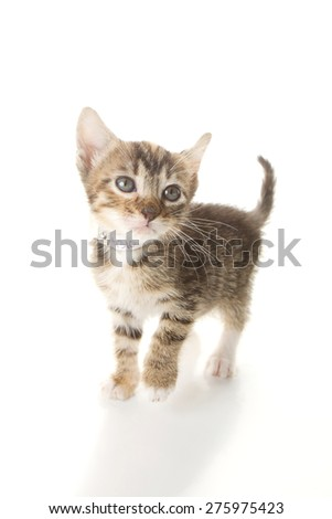 Grey and white striped tabby with a black nose isolated on a white background. Kitten pictured is 6 weeks old.