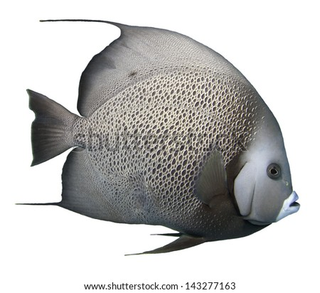 Grey Angelfish Isolated with a white background
