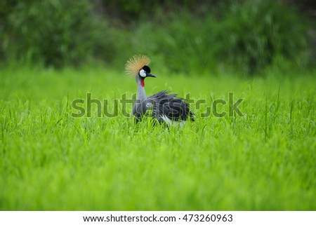 Grey crowned crane in a field