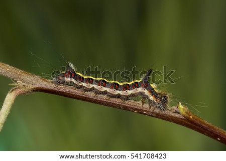 grey dagger - caterpillar