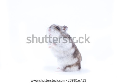grey fluffy hamster sitting on his hind legs with folded paws and stretches up