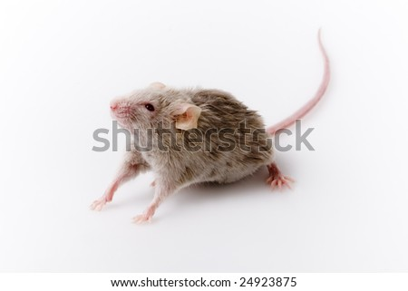 Grey mouse on white background