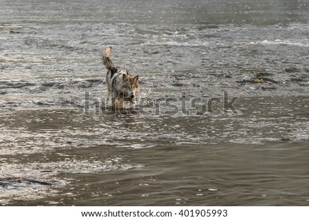 Grey Wolf (Canis lupus) Splashes in River - captive animal
