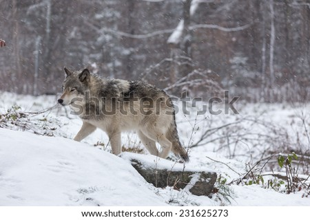 Grey Wolf (Timber Wolf)