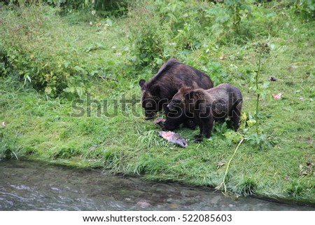 grizzly and cub feasting on salmon in creek in Alaska