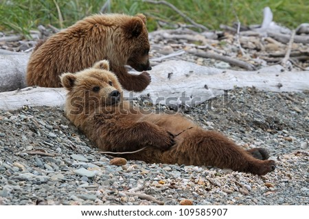 Grizzly Bear cubs relaxing on a beach.