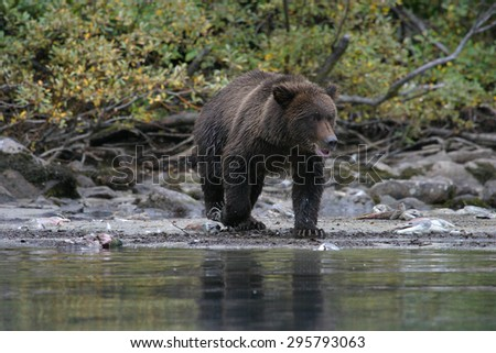 grizzly bear fishing in an alaskan lake