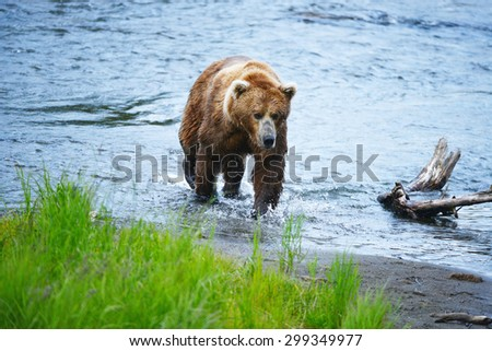 grizzly bear hunting for salmon in alaska