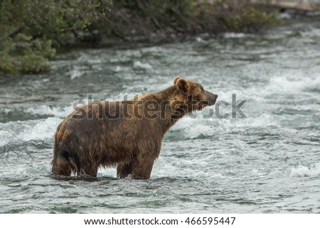 Grizzly bear hunts salmon in Alaska Katmai National Park Brook Falls