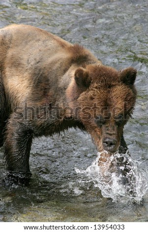 grizzly bear in water eating his lunch, salmon, Alaska