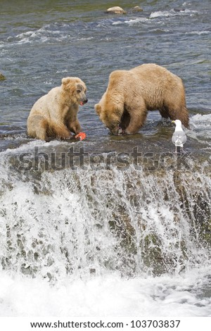 Grizzly Bear mom and her cub with a fresh catch of salmon in Katmai National Park in Alaska