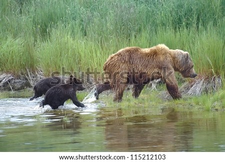 Grizzly bear running through water with her cubs.SW Alaska