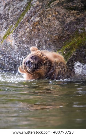 Grizzly bear shaking to dry its wet fur