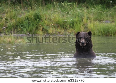 grizzly looking out of an alaskan lake
