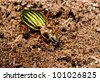 ground beetle hiding, rotten bark - stock photo