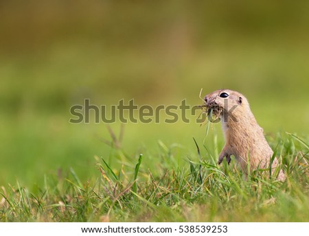 Ground Squirrel with Mouth Full of Grass on The Meadow