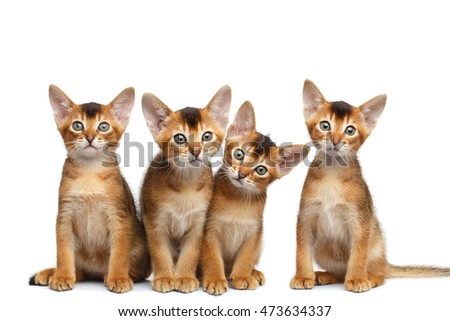 Group of Abyssinian Kitten Sitting and Looks in Camera on Isolated White Background, Raising up Head, four Funny Family cat, Curious face