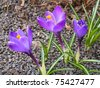 Group of beautiful blooming purple and white - stock photo