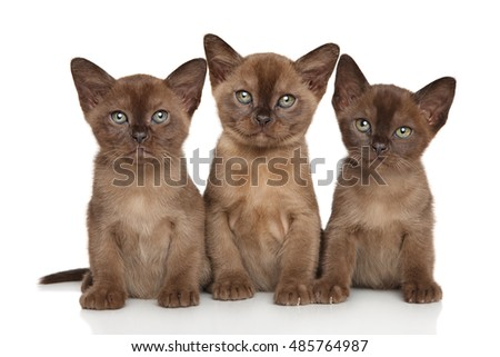 Group of Burmese kittens sits on a white background