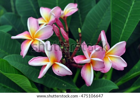 group of Frangipani flowers blooming