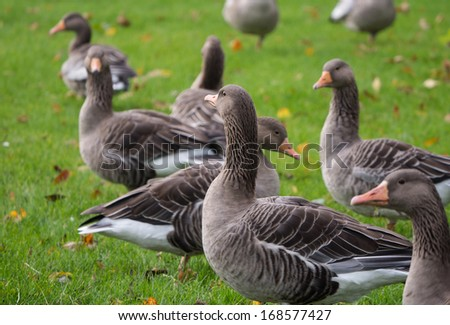 Group of greylag goose officially known as anser anser