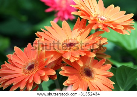 Group of orange gerbera daisies in garden