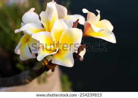 Group of the beautiful Yellow Plumeria