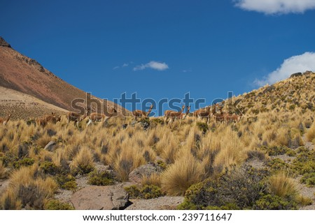 Group of vicuna (Vicugna vicugna) crossing the altiplano in Lauca National Park, northern Chile
