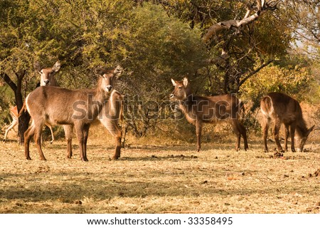Group of water buck  in South African bush