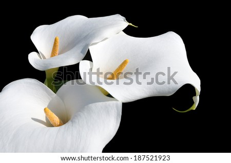 Group of white  Arum Lilly's against a black background