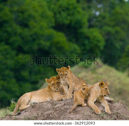 Group of young lions on the hill. National Park. Kenya. Tanzania. Masai Mara. Serengeti. An excellent illustration.