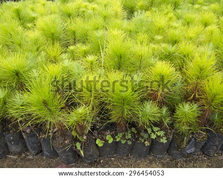 Group of young pine tree seedling in plastic pot